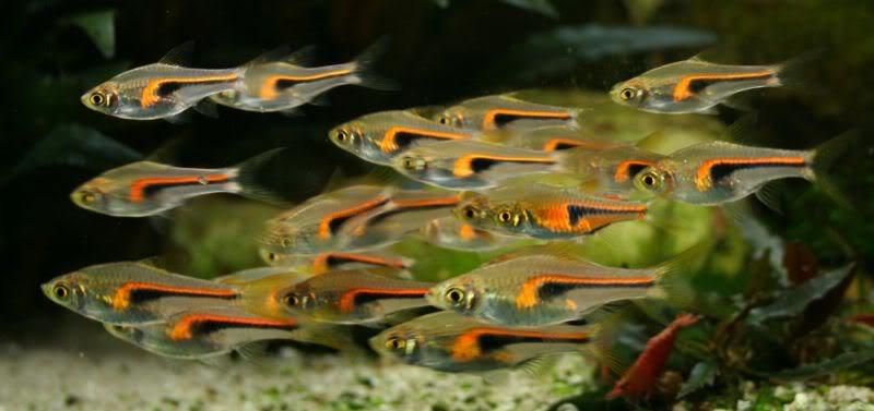 как называется род карповых рыб