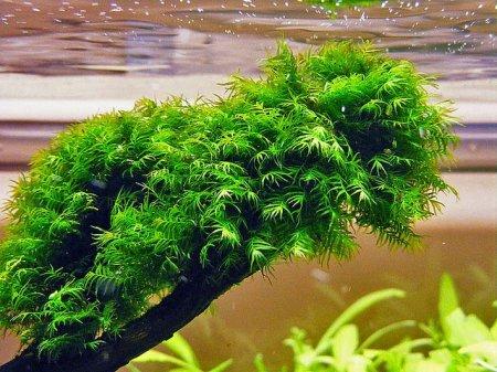 Мох Феникс (Fissidens fontanus)