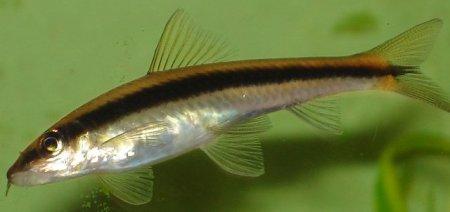 Сиамский водорослеед (Crossocheilus siamensis, SAE)