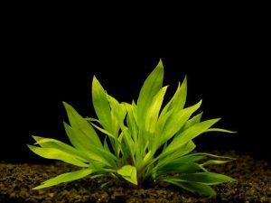 Эхинодорус промежуточный, карликовая амазонка (Echinodorus intermedius)
